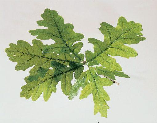 Quercus robur (Pedunculate oak) - English Oak