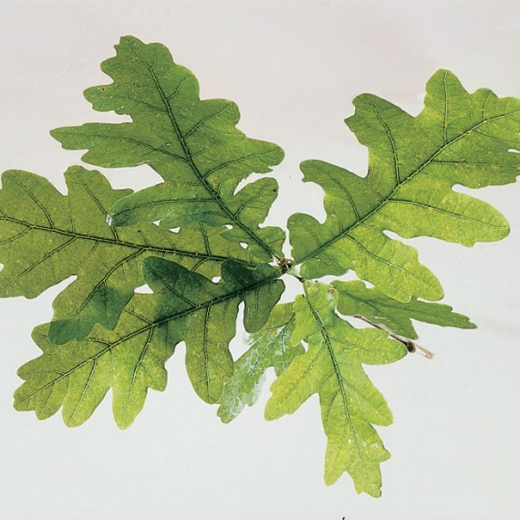 Quercus robur (Pedunculate oak) - English Oak