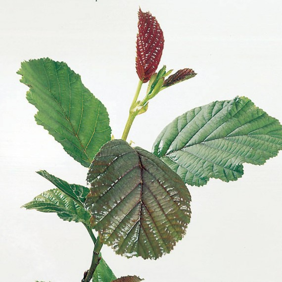 Alnus glutinosa - Common Alder:30 - 40