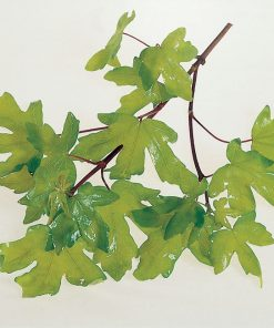 Acer campestre - Field Maple