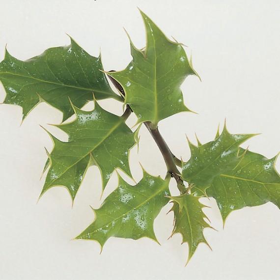 Ilex aquifolium - Holly