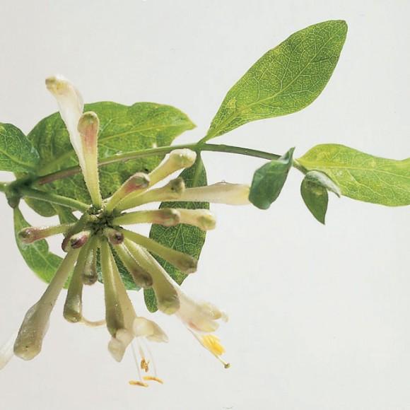 Lonicera periclymenum - Honeysuckle