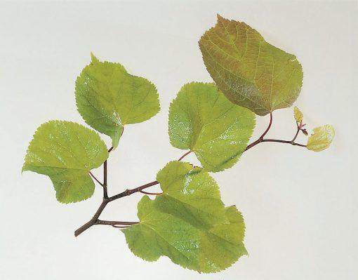 Tilia platyphyllos - Broadleaved Lime