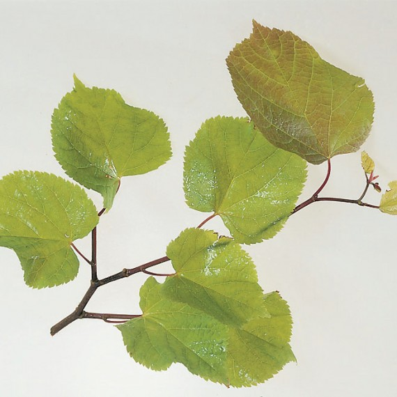 Tilia platyphyllos - Broadleaved Lime