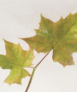Acer platanoides - Norway Maple