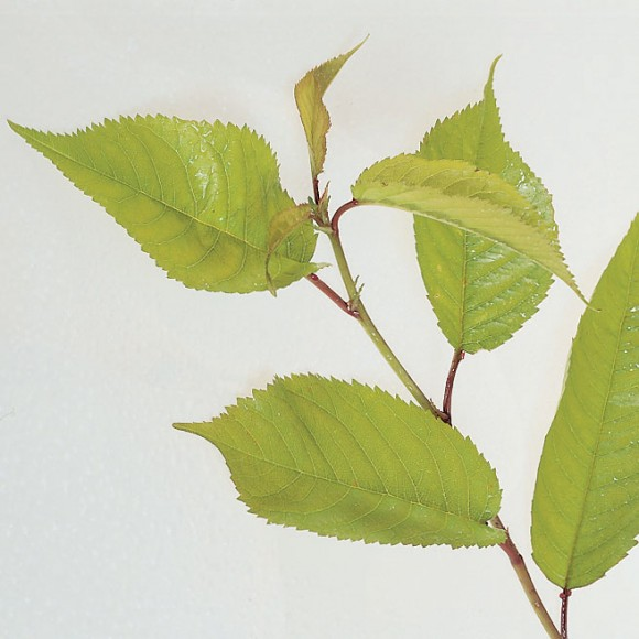 Prunus padus - Bird Cherry