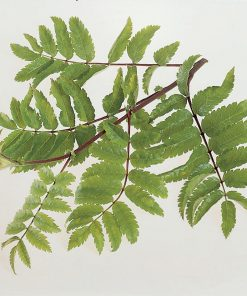 Sorbus aucuparia - Rowan (Mountain ash)