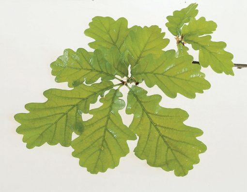 Quercus petraea - Sessile Oak
