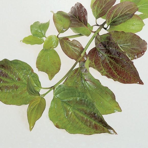 Cornus sanguinea - Dogwood