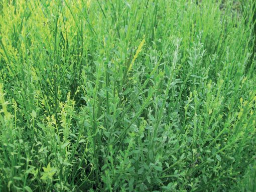 Cytisus scoparius - Common Broom