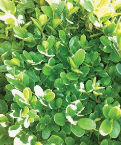 Buxus suufruticosa