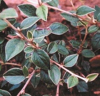 Cotoneaster - Franchetti