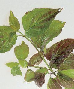 Cornus sanguinea – Dogwood