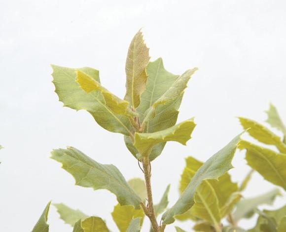 Quercus ilex - Evergreen Oak