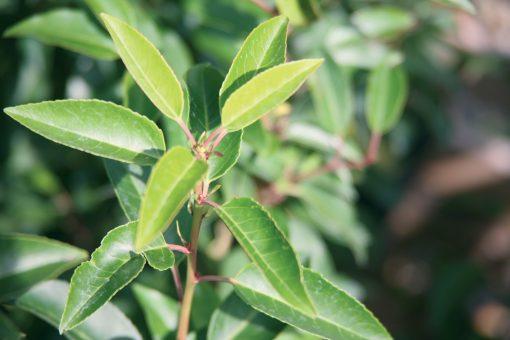 Prunus lusitanica - Portuguese Laurel