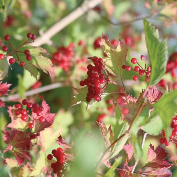 Viburnum opulus - Guelder Rose