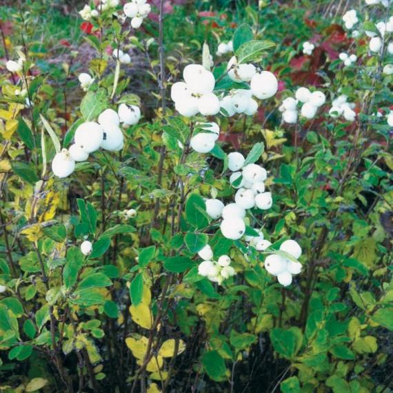 Symphoricarpus alba - Snowberry