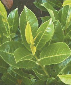 Prunus laurocerasus - Laurel