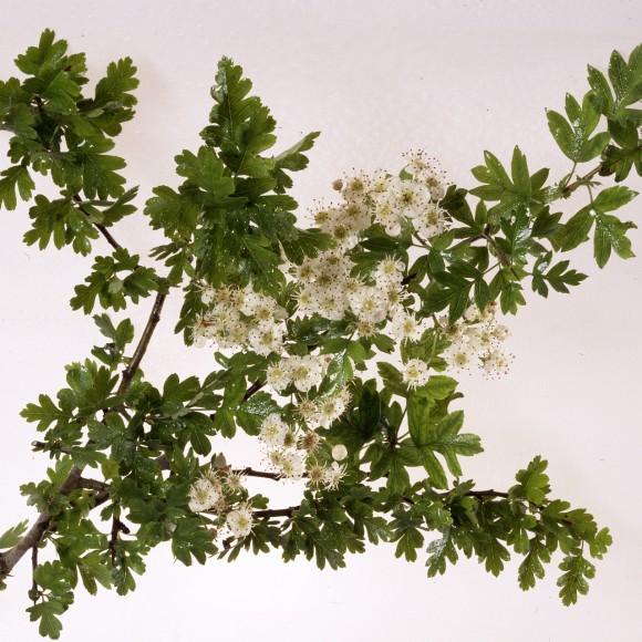 Crataegus monogyna - Quickthorn (Hawthorn)