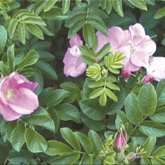 Rhamanus rose - Rosa Rugosa