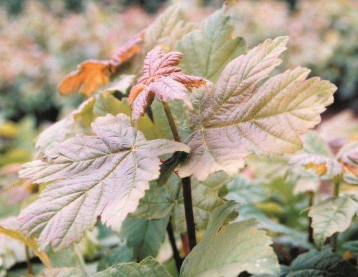 Acer pseudoplatanus - Sycamore