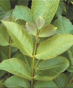 Juglans regia - English walnut