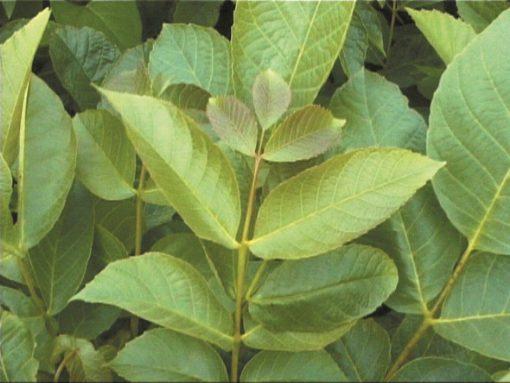 Juglans regia - English walnut