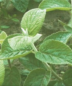 Viburnum lantana - Wayfaring Tree