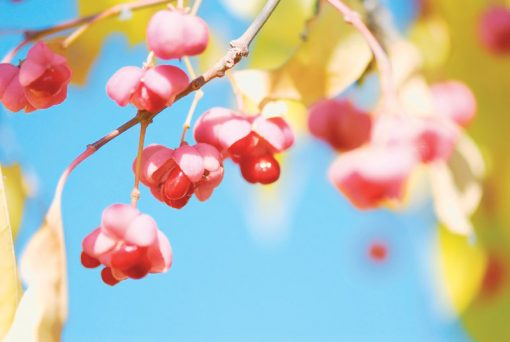 Euonymus europaeus - Spindle Tree