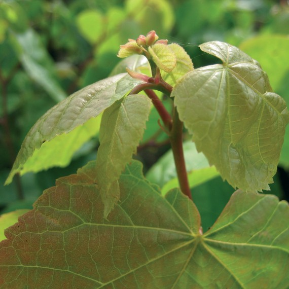 Tilia cordata - Small Leaved Lime
