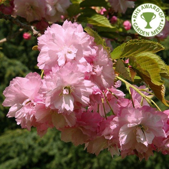 'Prunus Pink Perfection'