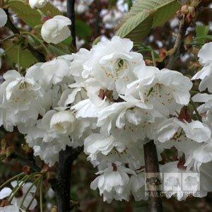 'Prunus Shirotae'