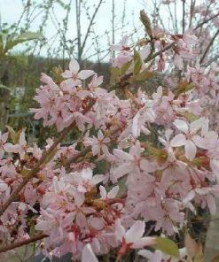 Prunus Umineko
