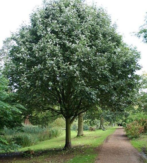 Sorbus ' Aria lutescens'