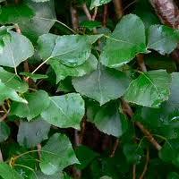 Black poplar - Populus nigra