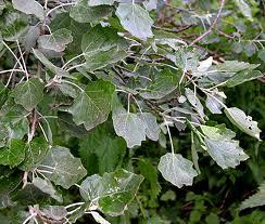 Grey poplar - Populus canescens