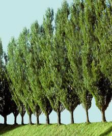 Lombardy poplar - Populus nigra italic