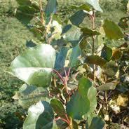Hybrid poplar - Populus 'Robusta'