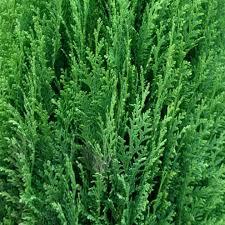 Lawson's Cypress