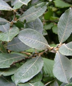 Salix cinerea - Grey Willow
